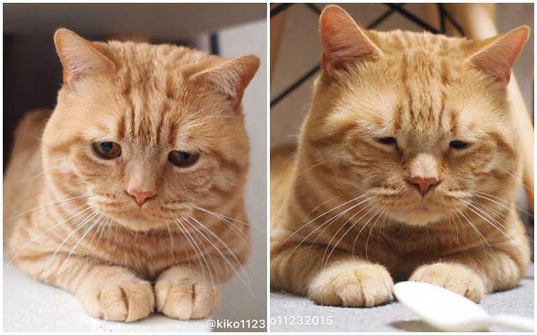 這隻橘貓一臉愛睏模樣,像極了厭世上班族!