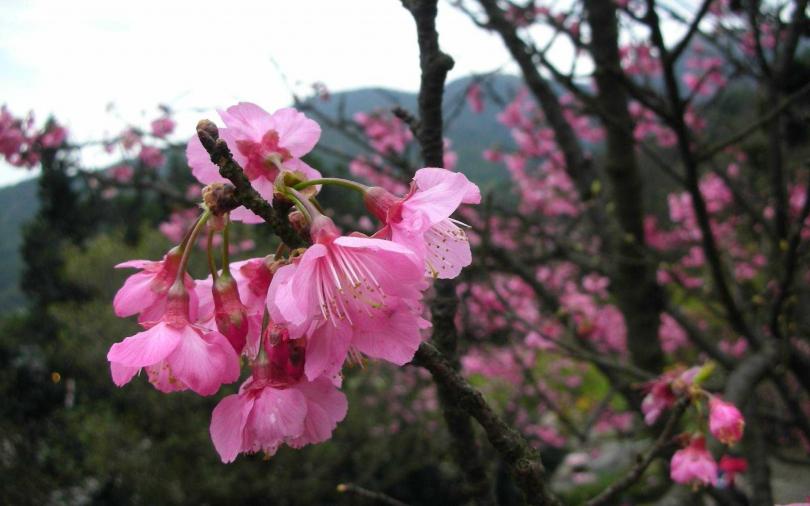 出國行程被打亂?趁著春暖花開遊台灣 賞花景點資訊一手掌握