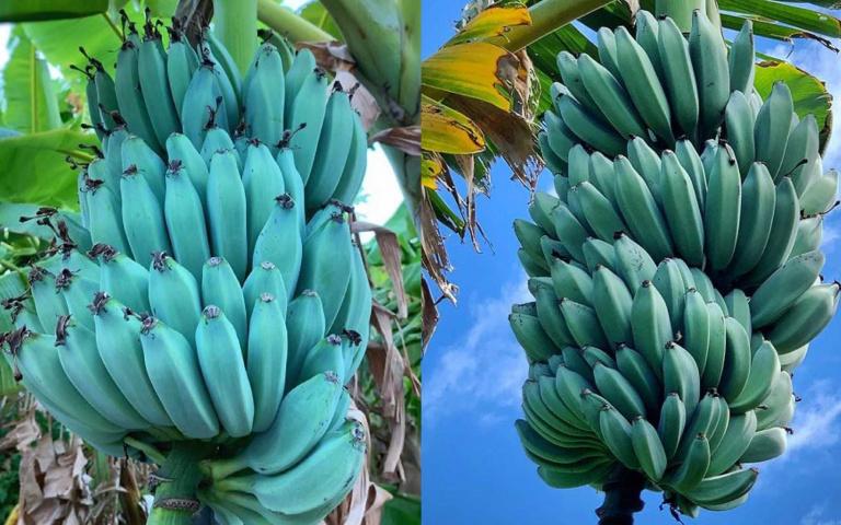 口感猶如香草冰淇淋!超夢幻水果「爪哇藍蕉」駕到,又稱「香蕉界哈根達斯」!