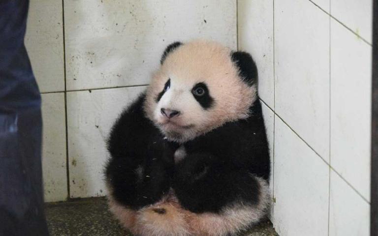 熊貓寶寶被打掃阿姨抱到角落著,結果就真的乖乖呆在那等著被抱回原位!