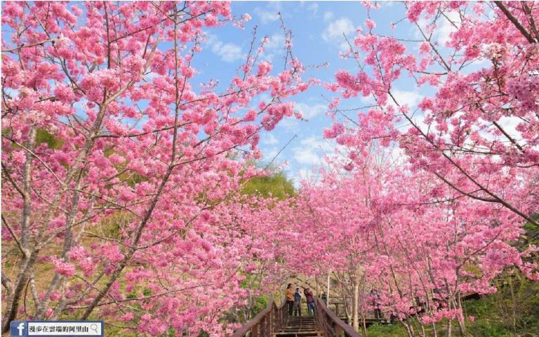 櫻花季還沒結束!3/10新登場阿里山櫻花季,3大賞櫻景點報給你知!