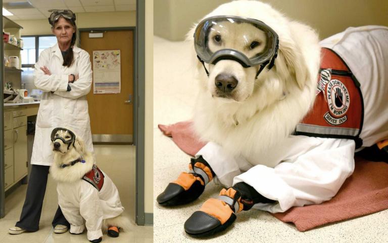 穿防護衣、戴護目鏡!第一隻進實驗室上班的黃金獵犬