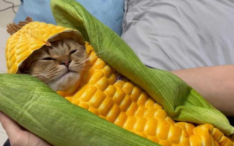 這根玉米不能吃!日本喵星人穿上「玉米裝」賣萌,舒適度滿分直接呼呼大睡!