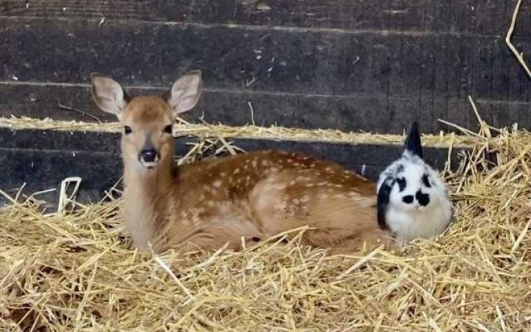 真實版《小鹿斑比》!野生鹿搭檔超萌垂耳兔,吃飯、睡覺都要黏踢踢!