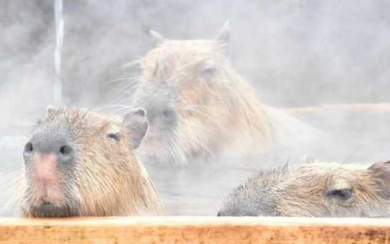 日本「水豚泡湯大賽」冠軍出爐!冠軍選手長泡104分鐘:這才叫「豚生」