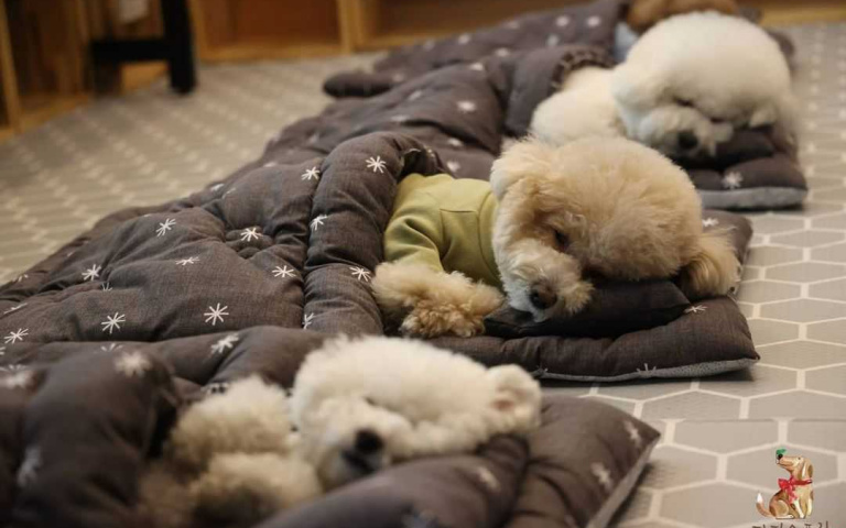 跟小朋友一樣~有吃有玩有上課!韓國狗狗幼稚園集體午睡超可愛