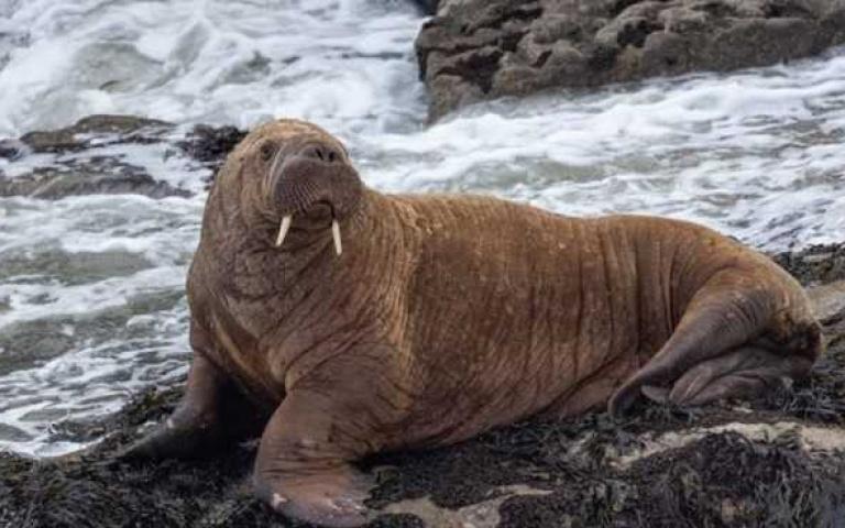少年威利的奇幻飄流!呆萌「北極海象」睡過頭,一覺醒來現身愛爾蘭!