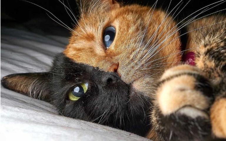 美國「黑橘郎君」雙面貓!這絕對不是用PS修出來的啦!