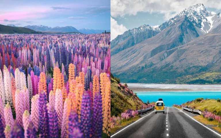 夏季限定!紐西蘭魯冰花3大熱門打卡景點,紫粉漸層太夢幻啦!