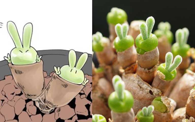 超萌兔耳多肉植物「碧光環」,養久了竟變成小小動物園!