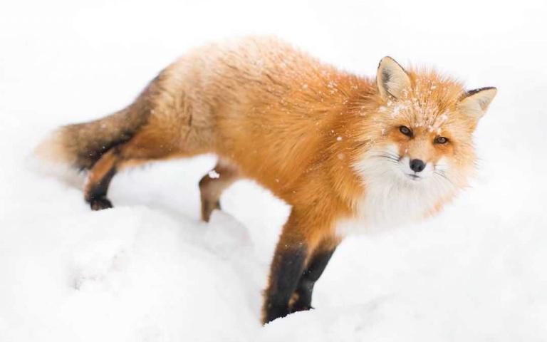 讓我近近的看著你!享受被百隻狐狸環繞的超萌藏王狐狸村