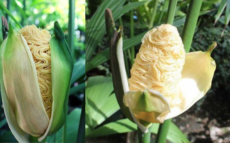 這可不是P圖!世界上最像拉麵的植物「巴拿馬草的花」