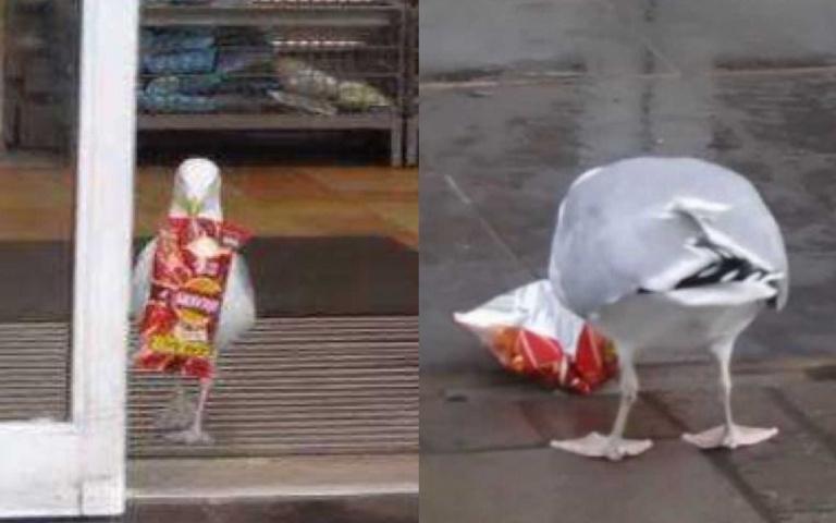 史上最囂張!海鷗使出神招「超狂小碎步」 竊取洋芋片只花15秒