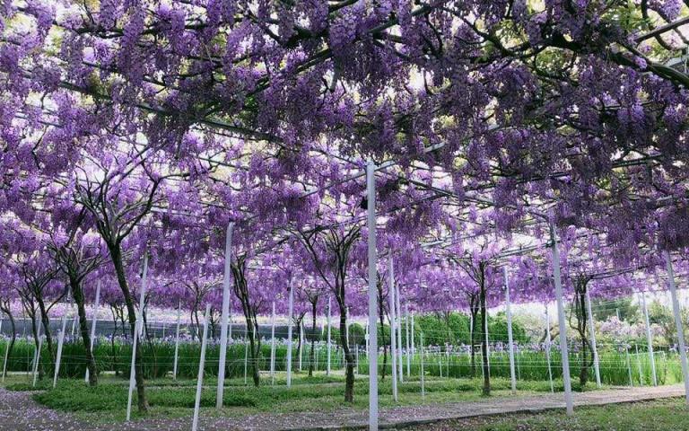 一年只開一次的紫藤咖啡園宣布花期 紫藤瀑布美度爆表 想去要把握機會