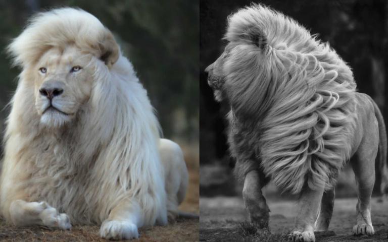 連獅子王都會感到相形失色的真實白獅!南非獅子保護區中的「顏值擔當」