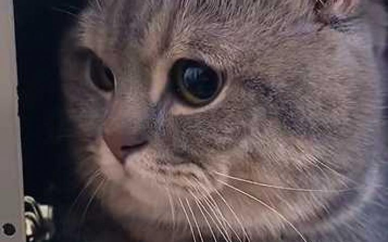 我的同窗是貓咪!胖灰喵躲抽屜聽課嘸人發現 畫面曝光就是要萌死你