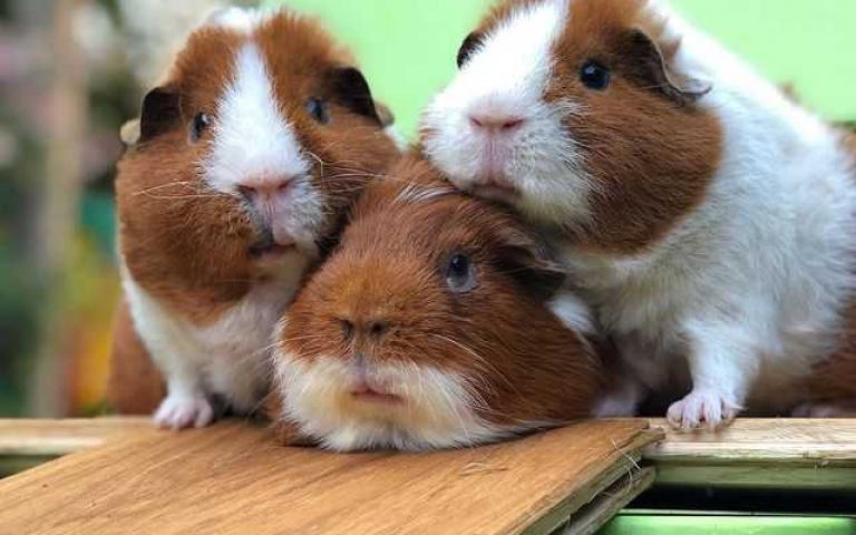 冷知識時間到!天竺鼠在「這個」國家禁止只飼養一隻 鼠鼠們相親相起來!
