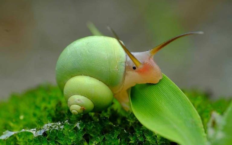 史上最萌!「青蘋色蝸牛」隆重駕到 下雨天若遇見牠不要被嚇到啦!