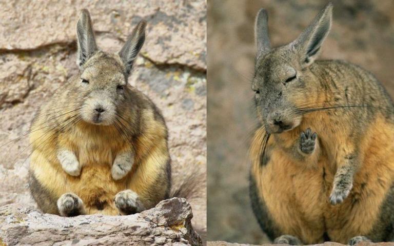 一臉睡不飽的南美兔鼠!根本就是長假後的自己