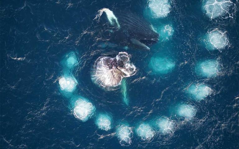 史上最近距離看見座頭鯨覓食  現身加拿大~