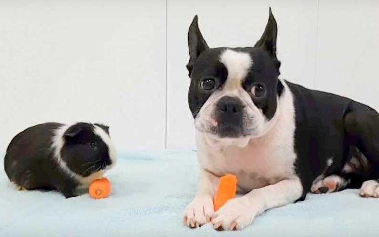 「天竺鼠」以為「狗狗」跟牠是同類!還跟狗狗分享自己的胡蘿蔔~