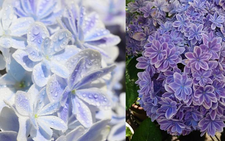 雙色漸層超夢幻!溫柔又典雅的日本繡球花新品種「萬華鏡」