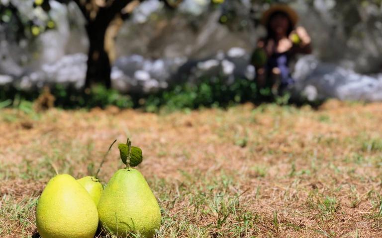 宜蘭還能這樣玩!體驗「摘柚、採茶」的中山農遊趣