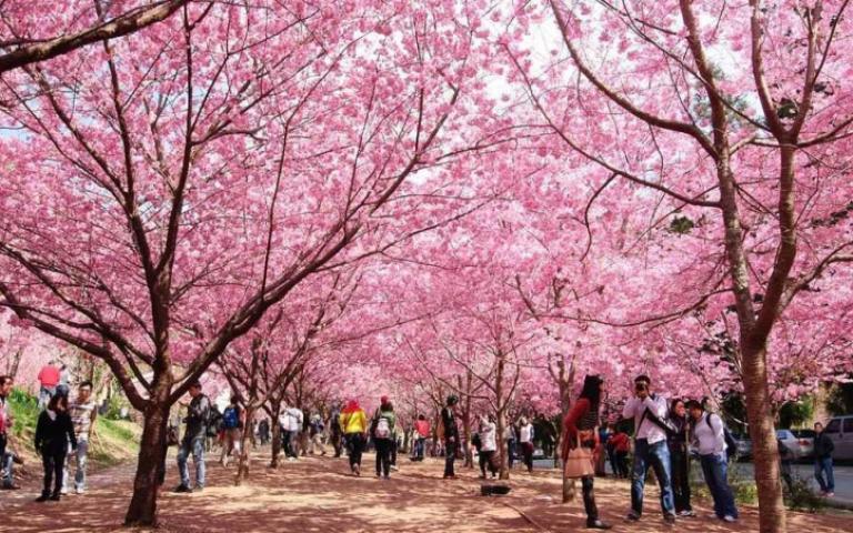搶先感受櫻花季!搶賞櫻公車套票、吃櫻式下午茶 滿滿粉嫩春浪漫