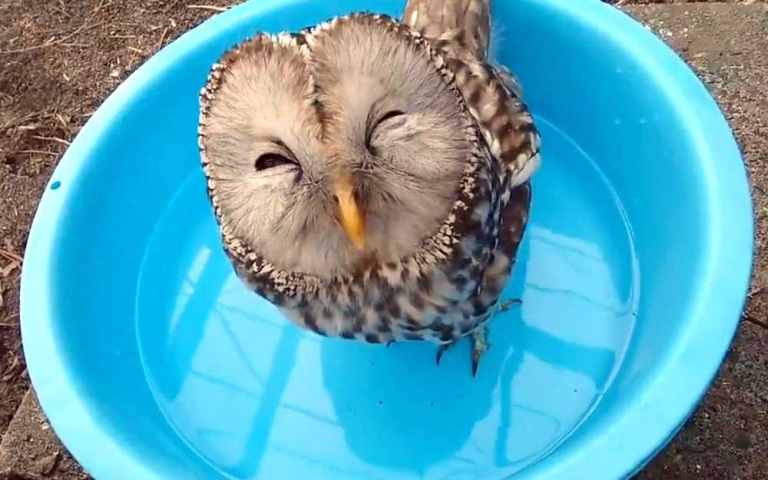 喝水好開心喔~ 笑到眼睛瞇起來的貓頭鷹!