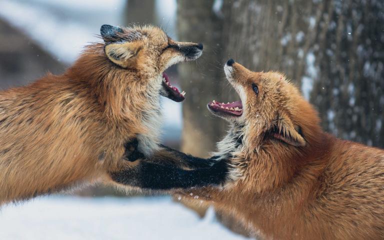 挑一隻「最像自己」的小狐狸!秒測出你的「狡猾程度」有多少