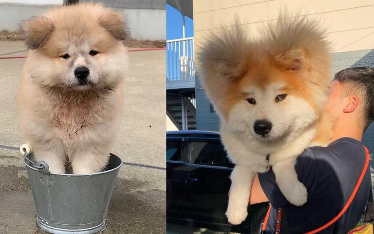 長著長著就變成炸毛「米奇耳」了!日本超可愛憨憨秋田犬